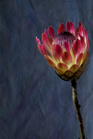Closeup of  protea Flower, against grungy blue background