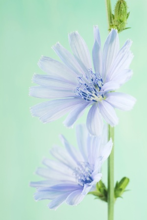 chicory flower: Chicory flower blossom, spring flower, close up, selective focus