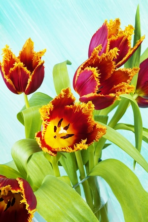 blumen: Strauss der Papageientulpe, Tulipa (gefranste), vor blauer Wand Stock Photo
