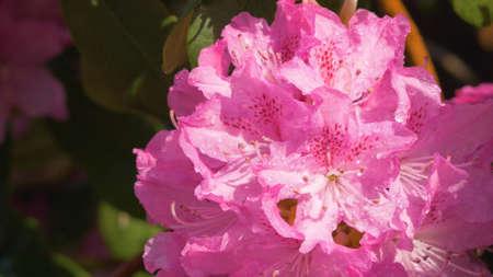 Beautiful Japanese pink Azalea flowers cut into a dense shrubbery 스톡 콘텐츠