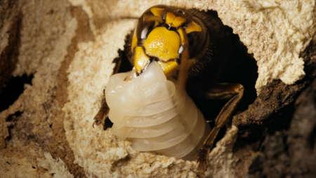 Close up of giant hornet Vespa mandarinia japonica