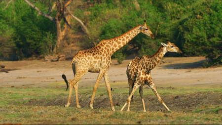 Giraffe in National park landscape grasslands Imagens