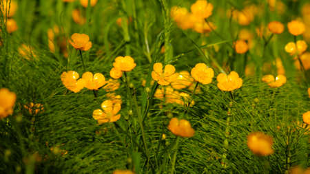 Golden Creeping Buttercups view close up of the flower of Ranunculus repens Stock Photo