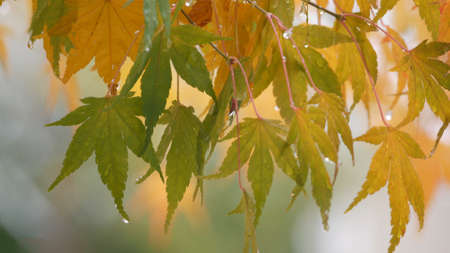 Japanese maple (acer palmatum) turning color at fall Stok Fotoğraf