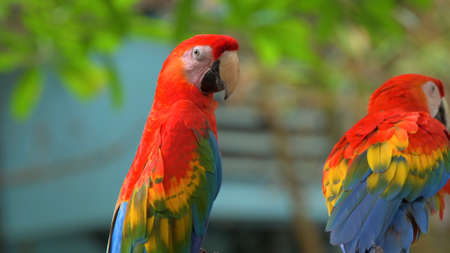 Parrots Scarlet Macaw on the tree