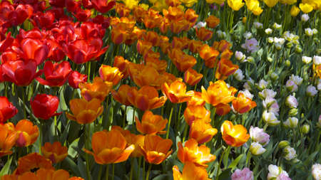 Colourful tulips in the large fields of Skagit Valley