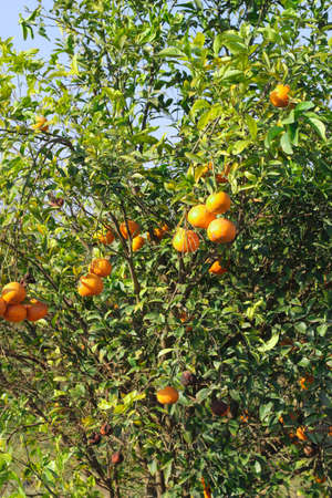 Orange tree plantation Summer background Lemon garden