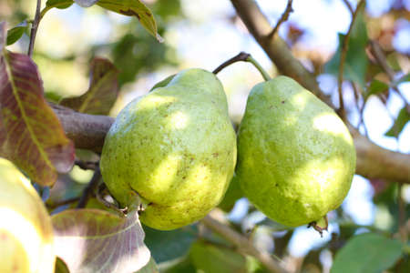Ripe Tropical Fruit Guava on Guava Tree. Psidium Guajava