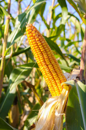 Ear of yellow corn with the kernels still attached to the cob on the stalk in organic corn field.