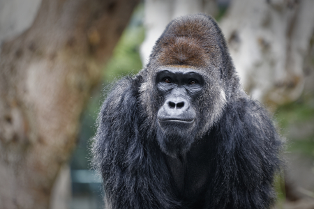 Gorilla portrait with blurred background Stock Photo