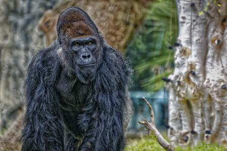 background: Gorilla portrait with blurred background Stock Photo