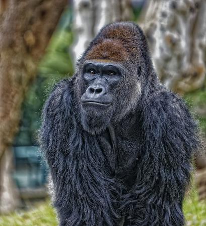 Gorilla portrait with blurred background Stock Photo