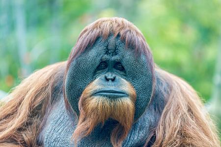 Orangutan (ape) face portrait isolated