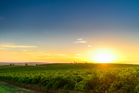 organic farm: Wine valley at sunset at Barossa, South Australia