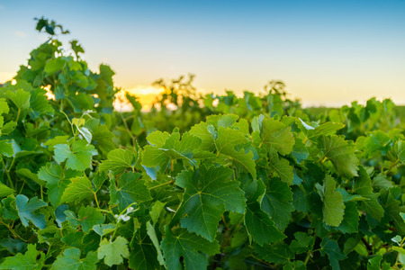 barossa: Wine valley at sunset at Barossa, South Australia