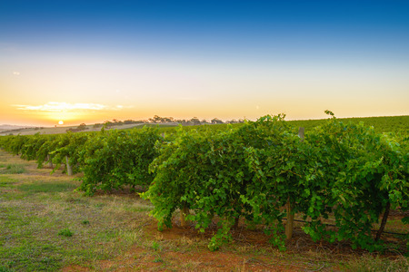 Wine valley at sunset at Barossa, South Australia photo