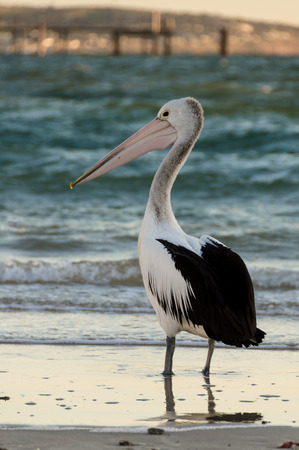 away from it all: Pelican at the beach South Australia Stock Photo