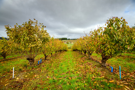 autumn colour: Autumn trees in the orchard, South Australia Stock Photo