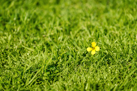 singularity: One small yellow flower in the grass. Shallow DOF Stock Photo
