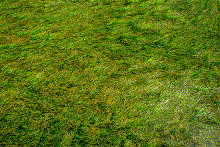 algas verdes: Algas verdes bajo el agua durante un d�a brillante