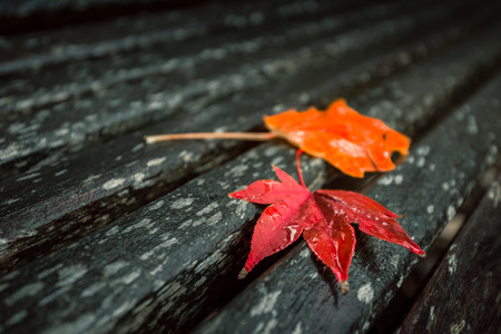 red maples: Red maples leaves on the wet bench