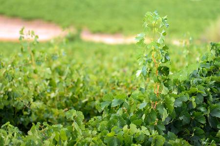barossa: Grape stalk in Barossa valley winery, South Australia