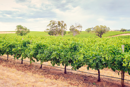 wineries: Barossa Valley wineries during a summer day in South Australia. Toning and cross-processing applied Stock Photo
