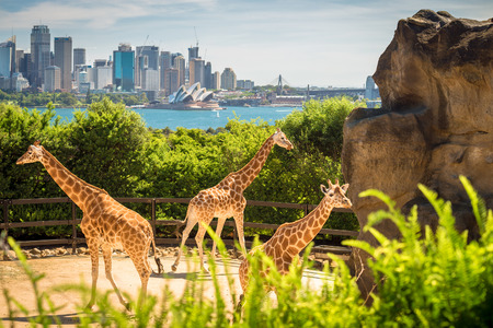 nsw: Giraffes with beautul Sydney city at the background on a bright day, NSW, Australia