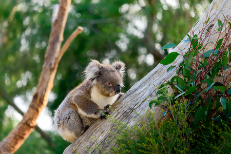 australian outback: Wild koala bear climbing up a tree in australian outback Stock Photo