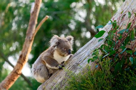 australian outback: Wild koala bear climbing up a tree in australian outback Stock Photo