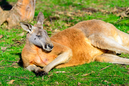 Lazy australian kangaroo sleeping on the ground Reklamní fotografie