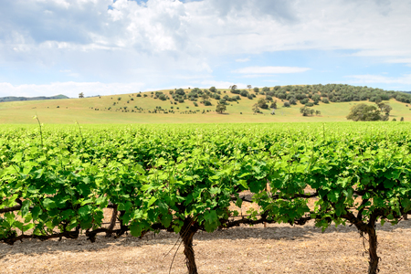 barossa: Grape vines in Barossa Valley, South Australia.