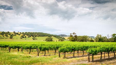 barossa: Grape vines in Barossa Barossa wine region, South Australia. Stock Photo