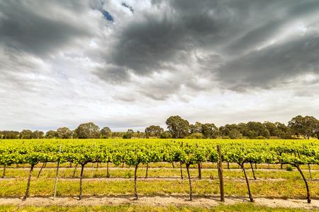 grape vines: Grape vines in Barossa Valley, South Australia.