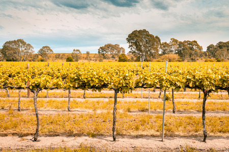 barossa: Grape vines in Barossa Valley, South Australia. Color-toning applied