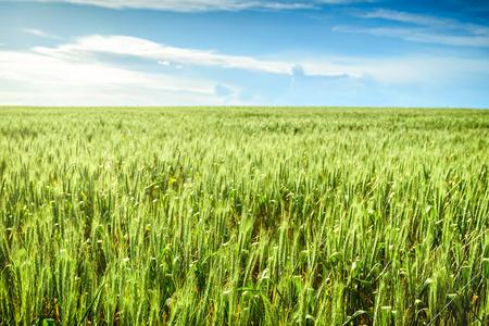 barossa: Green wheat field in Barossa, South Australia