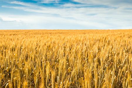 barossa: Yellow wheat field in Barossa, South Australia Stock Photo