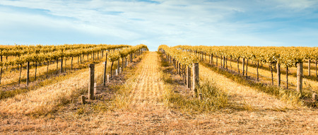 barossa: Vineyard in Barossa Valley, South Australia. Stock Photo