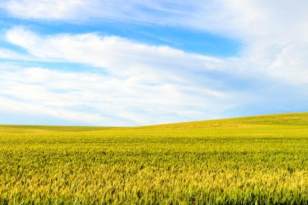 barossa: Green wheat field in Barossa Valley, South Australia