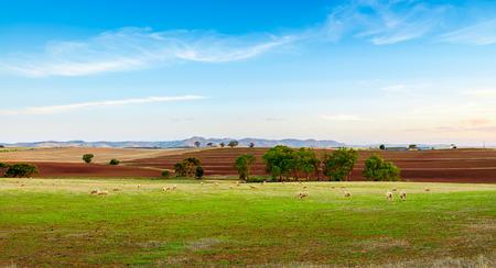 barossa: Sheep farm at sunset in Barossa Valley, Australia