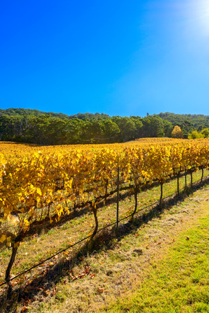 barossa: Grape vines in autumn, Barossa Valley, Adelaide Hills area, South Australia Stock Photo