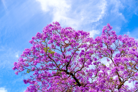 Jacaranda tree blossoms in Adelaide, South Australia
