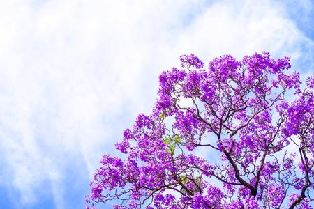 남호주 애들레이드의 자 카란다 나무 꽃 스톡 콘텐츠