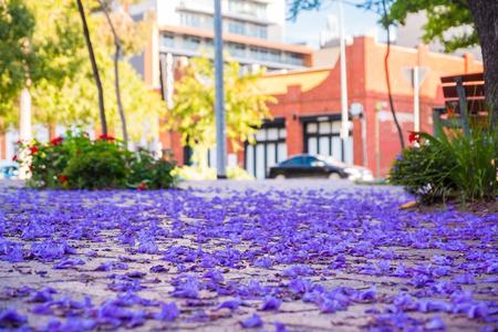 Jacaranda tree petals on the ground in Adelaide, South Australia