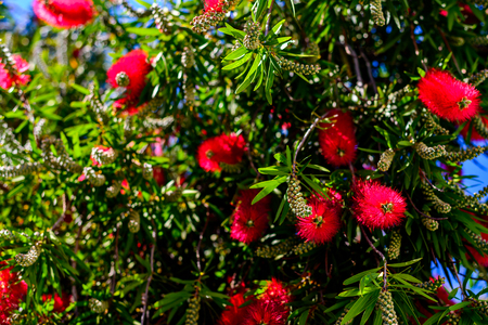 Red bottlebrush tree flowers blooming with flower buds on a bright spring day in South Australia