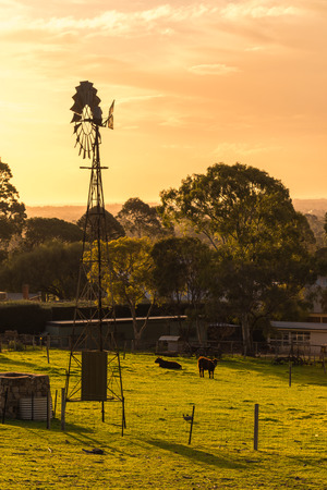 Windmill with grazing cows on daily farm at sunset in Adelaide Hills, South Australia