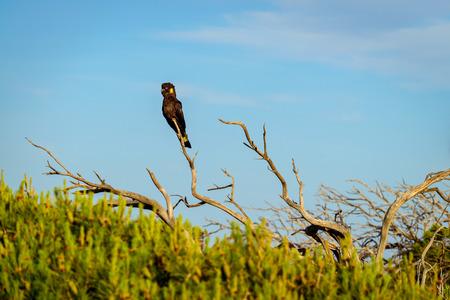 Yellow-tailed black cockatoo (Calyptorhynchus funereus) sitting on dried tree, Port Elliot, South Australia