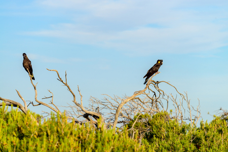 Yellow-tailed black cockatoo couple (Calyptorhynchus funereus) sitting on dried tree, Port Elliot, South Australia Stock Photo