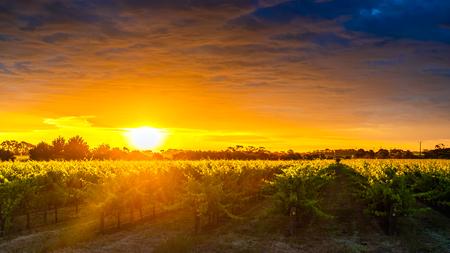 Grape vines in McLaren Vale at sunset, South Australia. Banco de Imagens