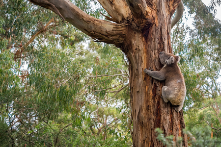 Wild koala in climbing up a tree in Adelaide Hills, South Australia